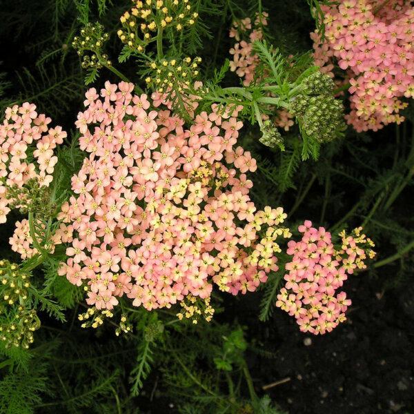 , Achillea Millefolium `Lachsschönheit`, Eulenhof - Staudengärtnerei