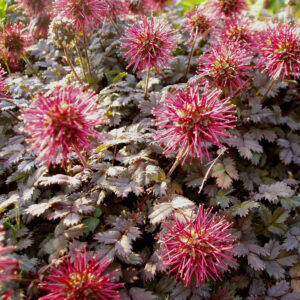 Eulenhof Staudengärtnerei - Acaena microphylla `Kupferteppich`