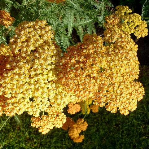 , Achillea millefolium x ` Terracotta`, Eulenhof - Staudengärtnerei