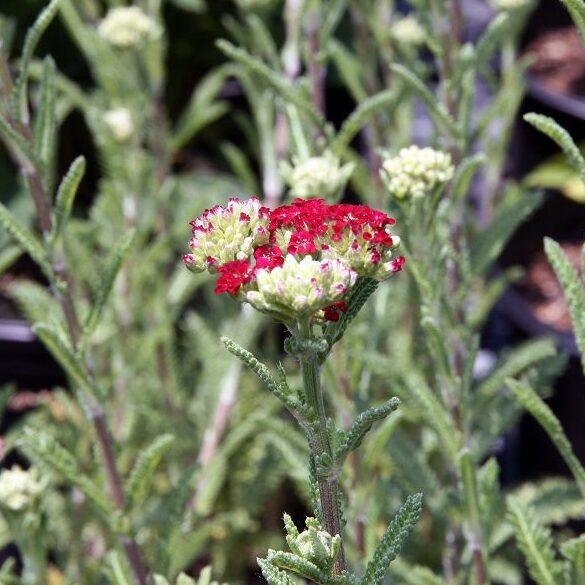 , Achillea millefolium `Red Velvet`, Eulenhof - Staudengärtnerei