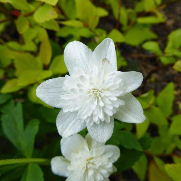 , Anemone nemorosa `Alba Plena`, Eulenhof - Staudengärtnerei
