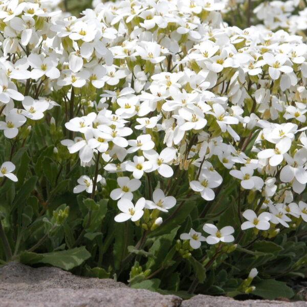 Arabis alpina (heimisch)