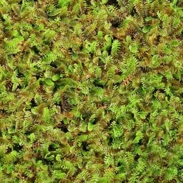 Leptinella squalida, Eulenhof - Staudengärtnerei