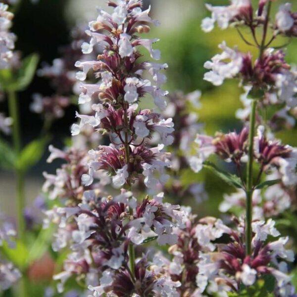 , Nepeta grandiflora `Down to Dusk`, Eulenhof - Staudengärtnerei