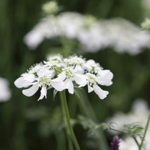 , Orlaya grandiflora (heimisch), Eulenhof - Staudengärtnerei