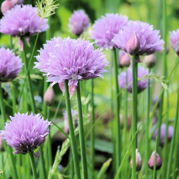 , Allium schoenophrasum, Eulenhof - Staudengärtnerei