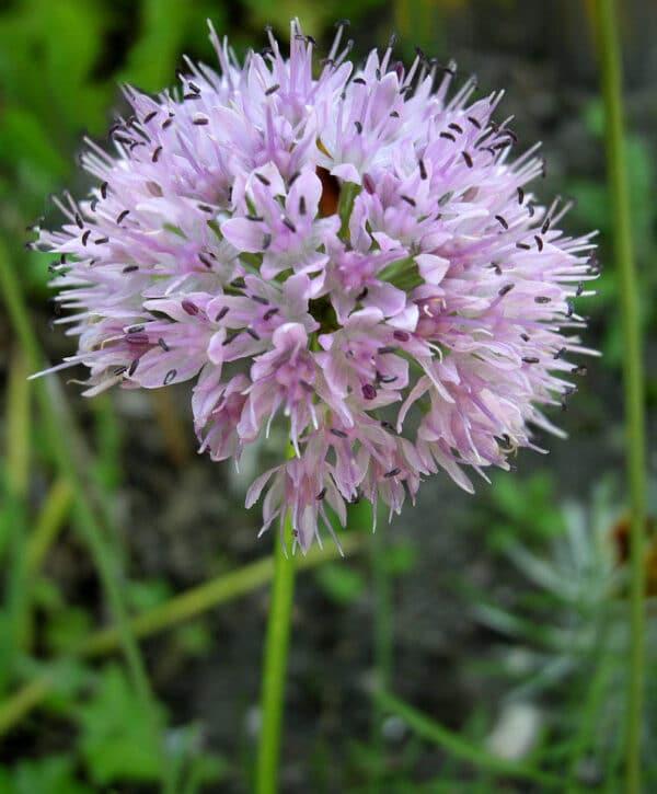 Allium nutans, Eulenhof - Staudengärtnerei