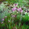 Silene (Lychnis) flos-cuculi (heimisch), Eulenhof - Staudengärtnerei