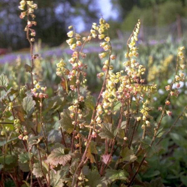 Tellima grandiflora `Rubra`, Eulenhof - Staudengärtnerei