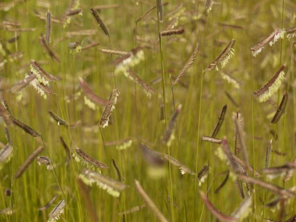 Bouteloua gracilis, Eulenhof - Staudengärtnerei
