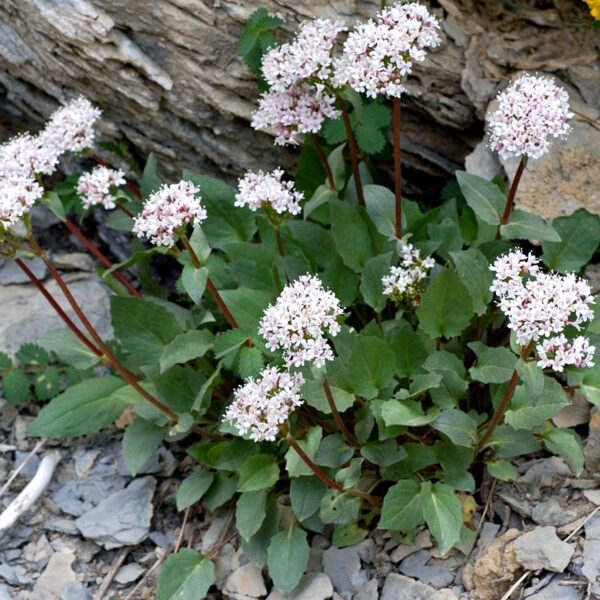 Valeriana montana (heimisch), Eulenhof - Staudengärtnerei